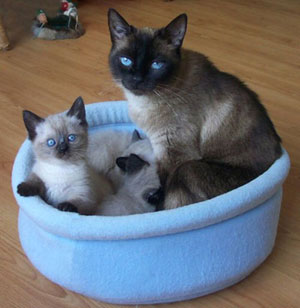 Mom with kittens in a baby blue fleece basket of Happy Cats